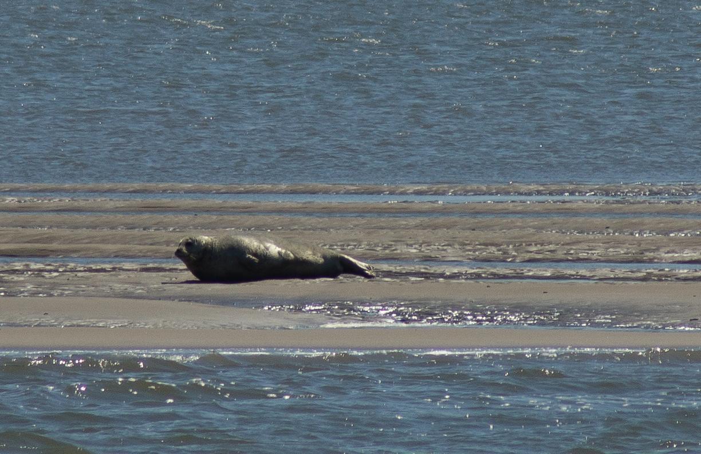 Ein Seehund auf einer Sandbank im Jadebusen am 4.6.2014